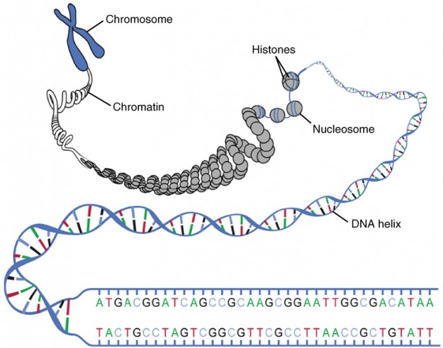 DNA stads for