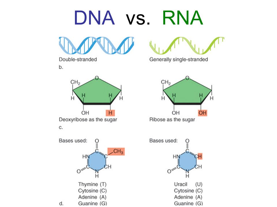 RNA vs DNA - the Differences | DNA Encyclopedia