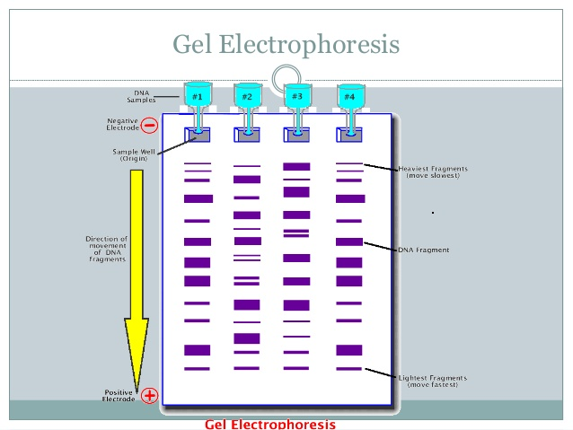 Gel electrophoresis dna fragments