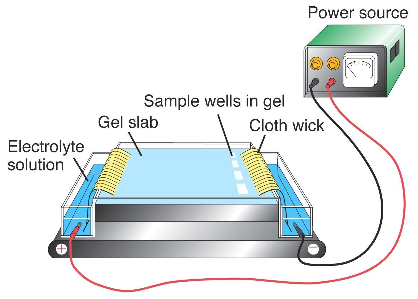gel electrophoresis
